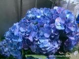 Bunga potong -Blue hydrangea