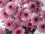 Bunga potong -Chrysant Lolipop