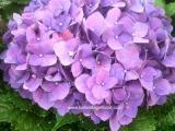 Bunga potong -Hydrangea ungu