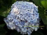 Blue Hydrangea local
