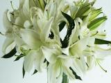 white lillium -Mezzana