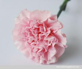 Carnation Standard A